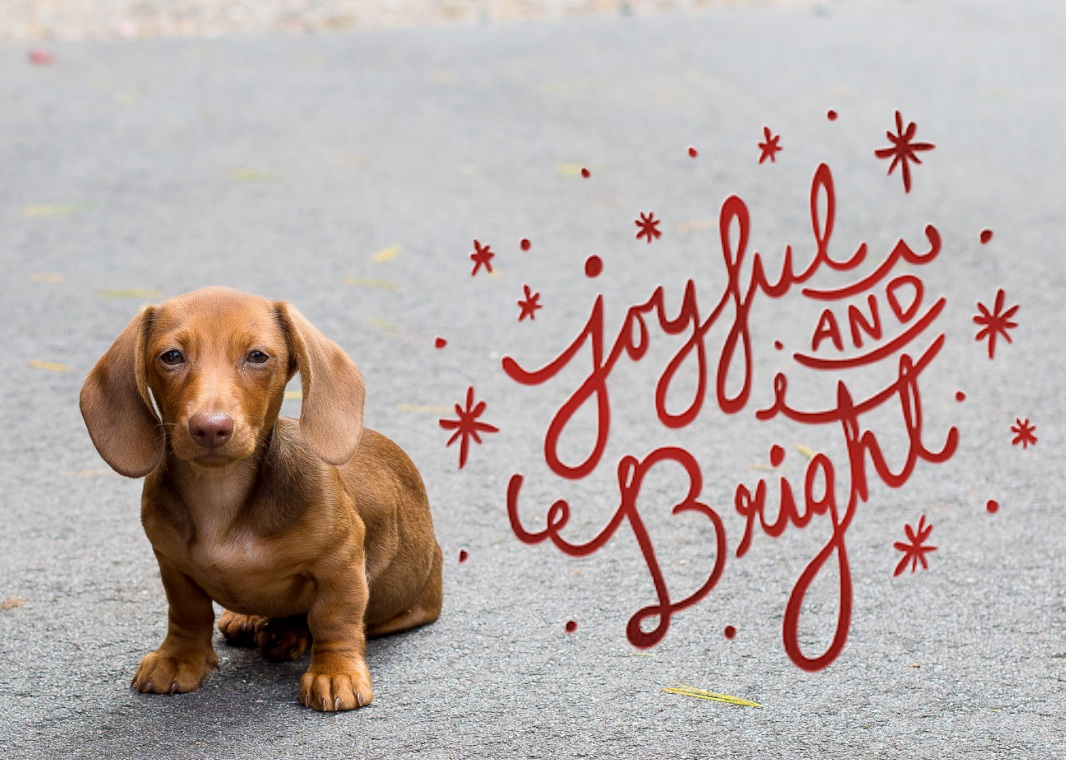 Joyful And Bright Dachshund Christmas Card Kelly In The