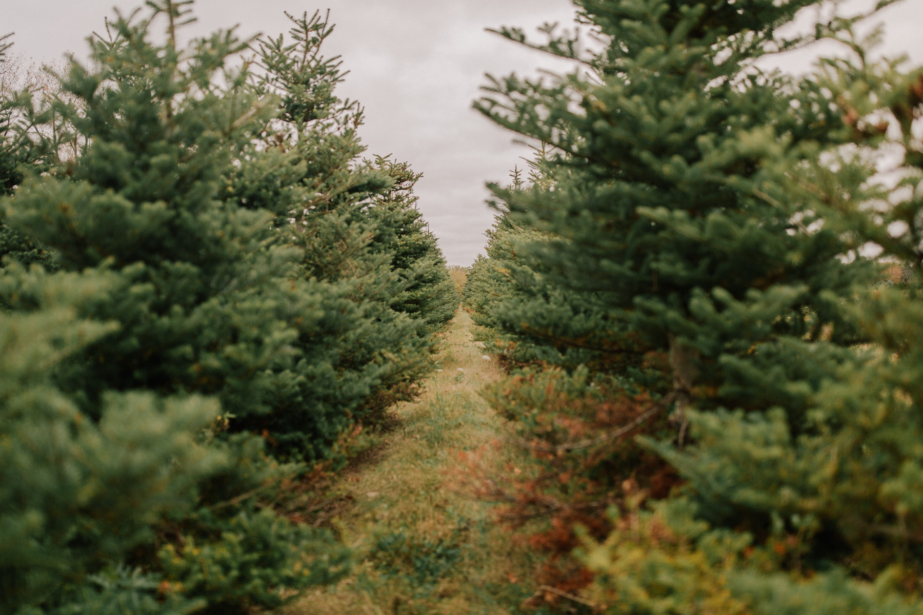 A Visit to the Christmas Tree Farm