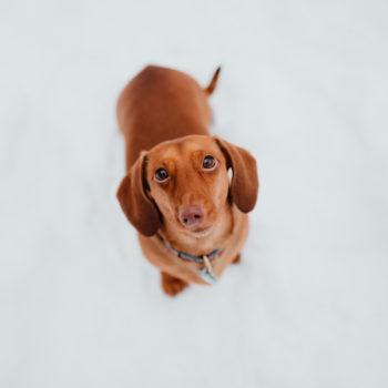 Short Dog Probs