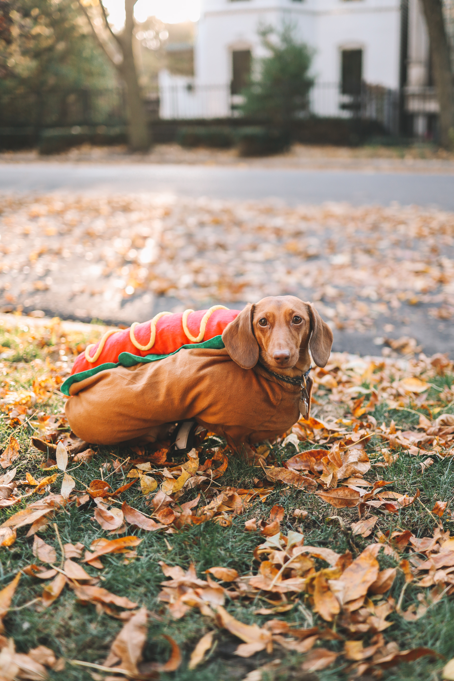 hotdog costume for dogs