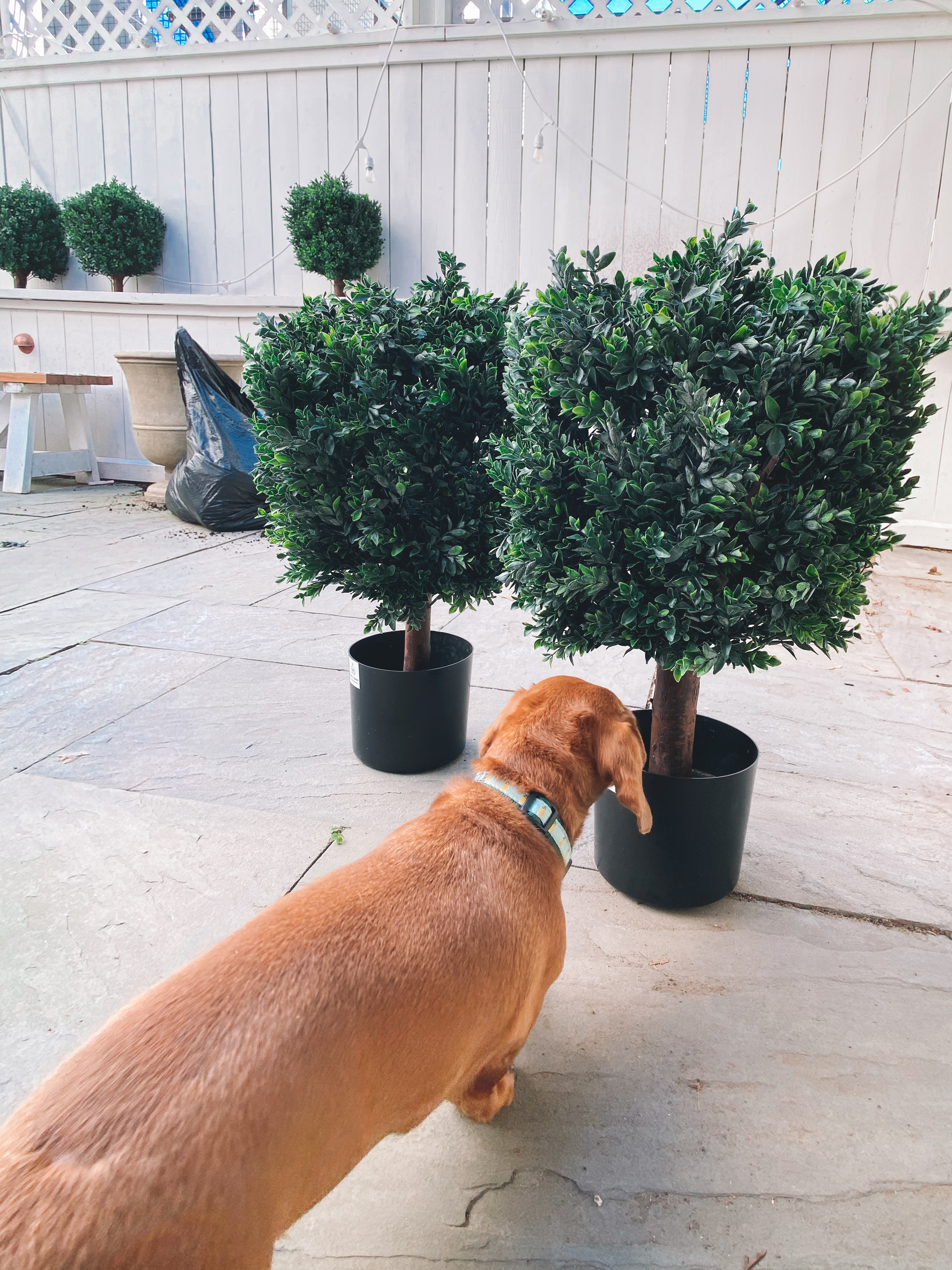 Noodle Approves The Awesome Faux Boxwoods - Kelly in the City