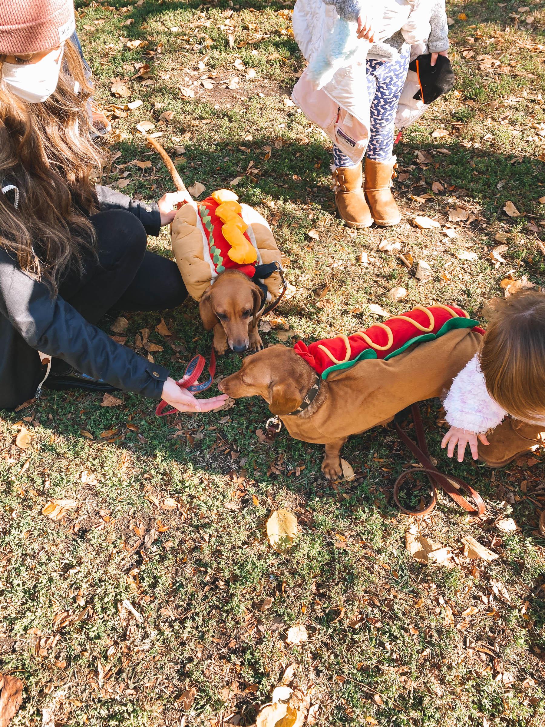 dachshund in hotdog costumes