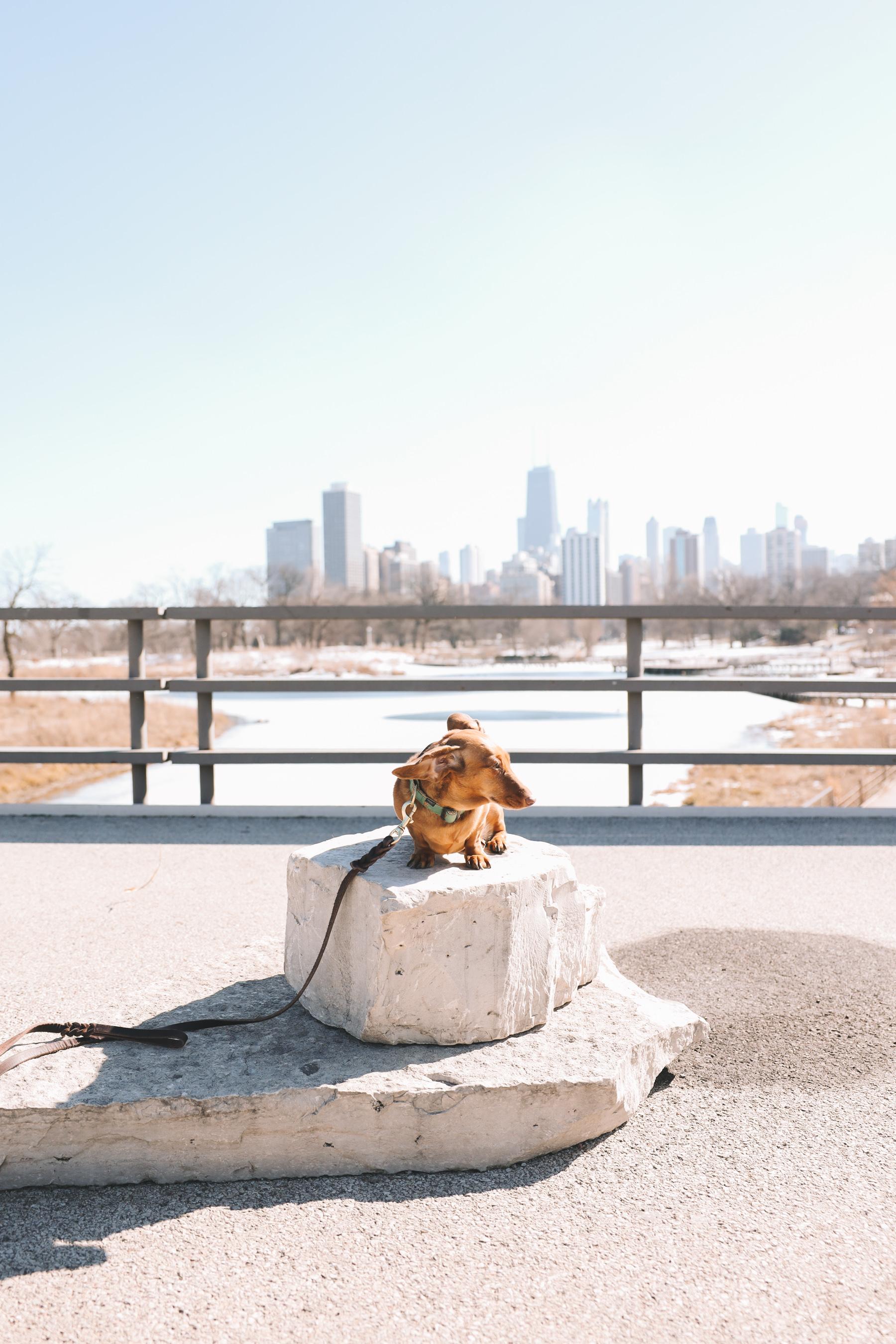 dachshund in chicago lake