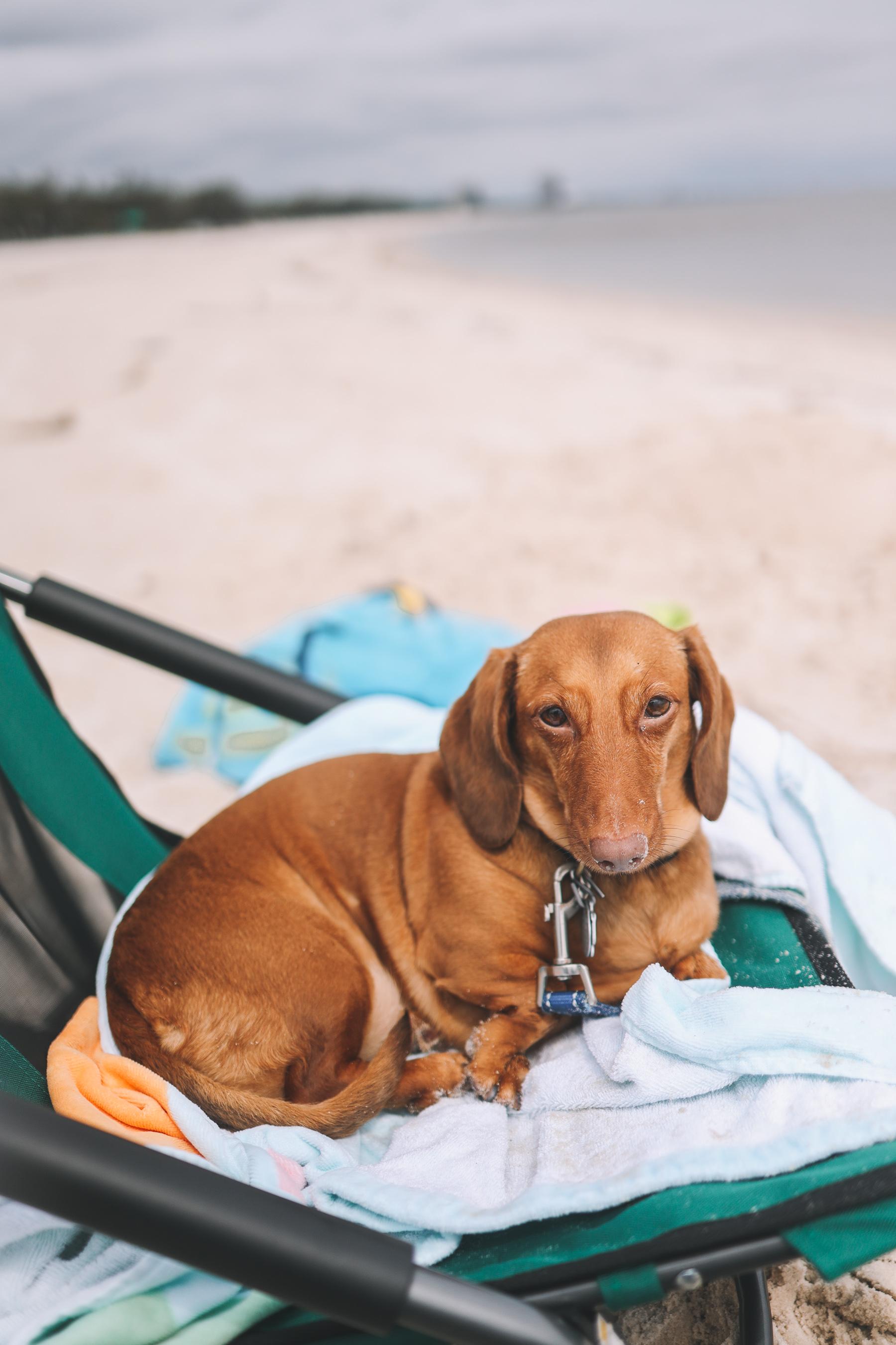 dachshund beach chair