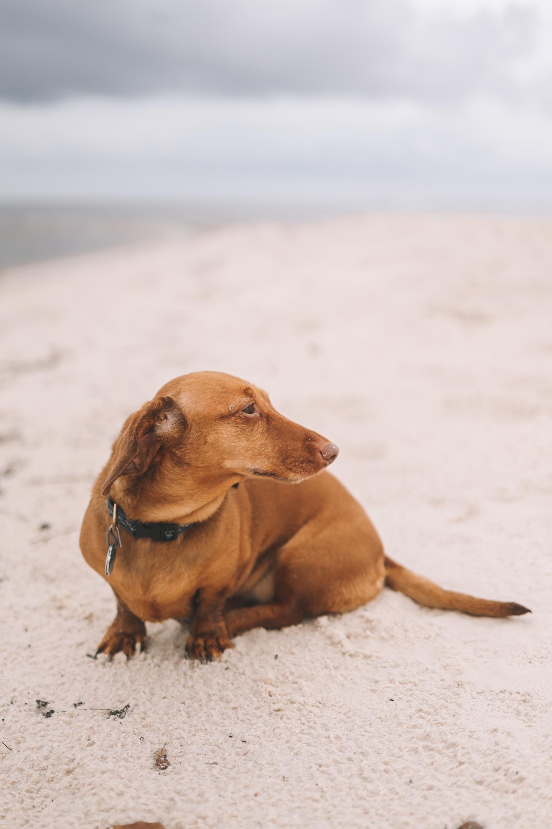 dachshund beach photo