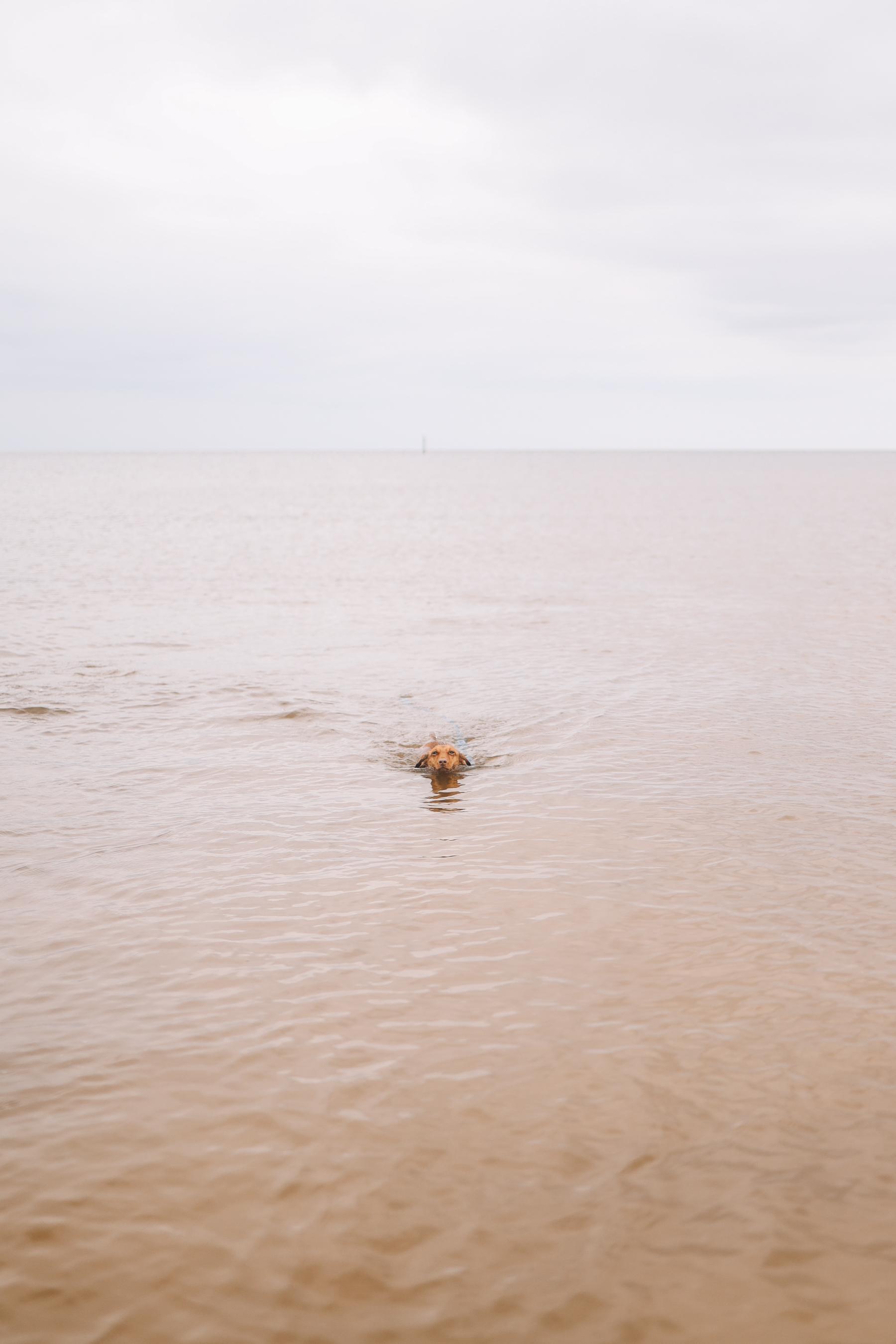 dachshund swimming
